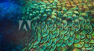 Picture of Patterns and colors of peacock feathers.